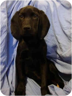 Labrador Retriever/Hound (Unknown Type) Mix Puppy for adoption in Plainfield, Illinois - Sara