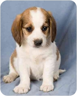 Beagle/Poodle (Toy or Tea Cup) Mix Puppy for adoption in Anna, Illinois - MISTY
