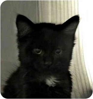 Domestic Mediumhair Kitten for adoption in Lasalle, Quebec - Lila