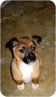 Shepherd (Unknown Type)/Sheltie, Shetland Sheepdog Mix Puppy for adoption in Bel Air, Maryland - Gizmo