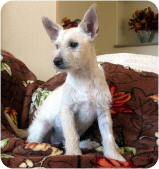 Westie, West Highland White Terrier/Terrier (Unknown Type, Small) Mix Puppy for adoption in Studio City, California - LIBBY