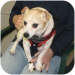 Chihuahua/Fox Terrier (Wirehaired) Mix Dog for adoption in Eatontown, New Jersey - Peanut