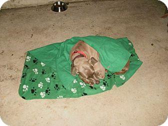 Weimaraner Dog for adoption in Grand Haven, Michigan - Rain