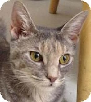 Domestic Shorthair Cat for adoption in Island Park, New York - Sally