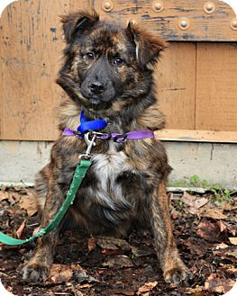 Shepherd (Unknown Type) Mix Dog for adoption in Bellingham, Washington - Pepper