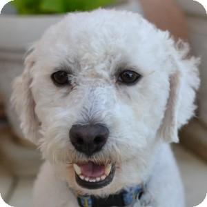 Bichon Frise Mix Dog for adoption in La Costa, California - Jimmy