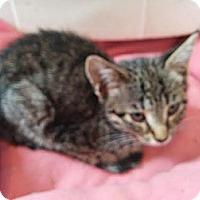 Adopt A Pet :: Juno - Brooklyn, NY