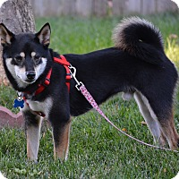 Adopt A Pet :: Diego - Centennial, CO