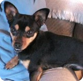 Terrier (Unknown Type, Medium)/Chihuahua Mix Dog for adoption in Vancouver, Washington - Barney