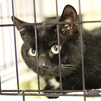 Domestic Shorthair Cat for adoption in Winston-Salem, North Carolina - Ben