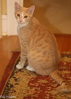 Domestic Shorthair Cat for adoption in Olive Branch, Mississippi - Jo (Nelson foster)