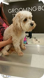 Poodle (Miniature)/Maltese Mix Dog for adoption in Thousand Oaks, California - Dallas