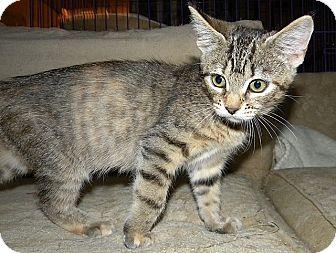 Domestic Shorthair Kitten for adoption in Tampa, Florida - Farrah