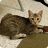 Adopt A Pet :: Lacey - Phoenix, AZ