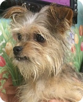 Yorkie, Yorkshire Terrier/Chihuahua Mix Puppy for adoption in Franklin, Tennessee - Kandy