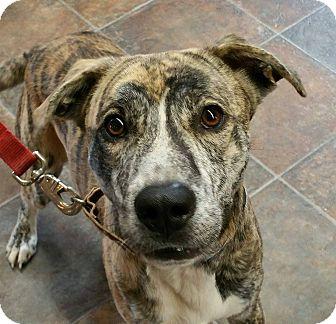 Whippet/Labrador Retriever Mix Dog for adoption in Lisbon, Ohio - Edison