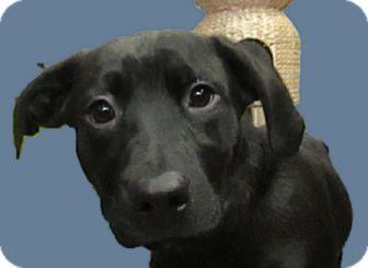Labrador Retriever Mix Puppy for adoption in Lloydminster, Alberta - Jakie