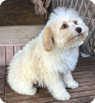 Goldendoodle Puppy for adoption in Carlsbad, California - KATE