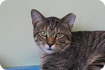 Domestic Shorthair Cat for adoption in Indianapolis, Indiana - Ralphie