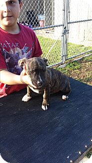 Dachshund/Terrier (Unknown Type, Small) Mix Puppy for adoption in San Antonio, Texas - Sammi