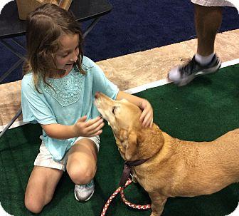 Dachshund/Labrador Retriever Mix Dog for adoption in Oakland, Florida - SANDY