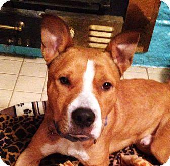 Boxer/Labrador Retriever Mix Dog for adoption in Memphis, Tennessee - Willie