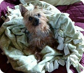 Yorkie, Yorkshire Terrier Dog for adoption in Oakland, California - NIKKO