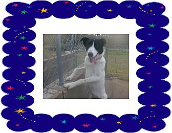 Greyhound/Australian Shepherd Mix Dog for adoption in KELLYVILLE, Oklahoma - KATY