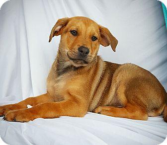Shepherd (Unknown Type) Mix Puppy for adoption in Fredericksburg, Texas - Dan