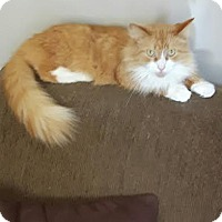 Domestic Longhair Cat for adoption in Leamington, Ontario - Smiley