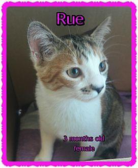 Domestic Shorthair Kitten for adoption in Richmond, California - Rue