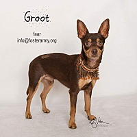 Adopt A Pet :: Groot - Riverside, CA