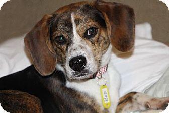 Beagle Mix Dog for adoption in Avon, New York - Bob