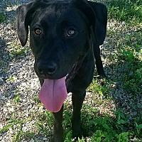 Adopt A Pet :: BOJANGLES - Knoxville, TN