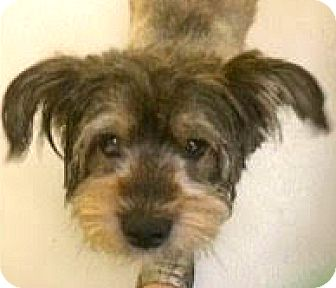 Cairn Terrier/Schnauzer (Miniature) Mix Dog for adoption in Boulder, Colorado - Ziggy-ADOPTION PENDING