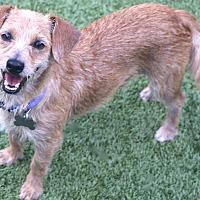 Adopt A Pet :: Lester always happy - Bedminster, NJ