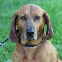 Redbone Coonhound Mix Dog for adoption in Midland, Michigan - Wynona