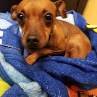 Adopt A Pet :: Emily - Merriam, KS