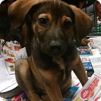 Siberian Husky Mix Puppy for adoption in Ringoes, New Jersey - Moscow
