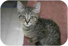 American Shorthair Kitten for adoption in Arlington, Virginia - Milo
