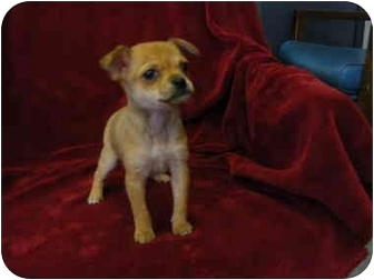 Chihuahua/Yorkie, Yorkshire Terrier Mix Puppy for adoption in Rochester, New Hampshire - Baby