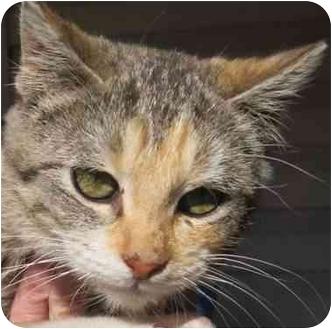 Domestic Shorthair Kitten for adoption in Muskogee, Oklahoma - Sweet Pea