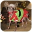 Photo 4 - Chinese Crested Dog for adoption in Palm Harbor, Florida - Dotty