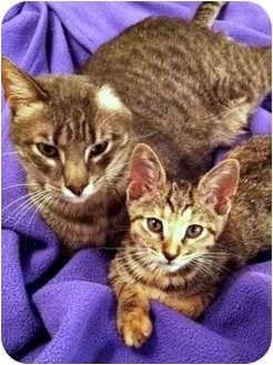 Domestic Shorthair Kitten for adoption in Houston, Texas - Trouble
