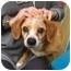 Photo 1 - Beagle Mix Dog for adoption in Encino, California - Norman