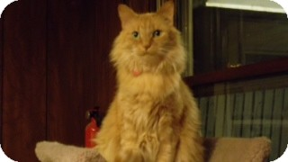 Domestic Longhair Cat for adoption in Byron Center, Michigan - Farrah