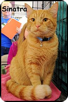 Domestic Shorthair Kitten for adoption in Merrifield, Virginia - Sinatra & Johnny Cash