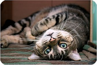 Domestic Shorthair Cat for adoption in Sterling Heights, Michigan - Buffalo Charlie