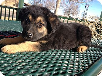 Boxer/Shepherd (Unknown Type) Mix Puppy for adoption in Westminster, Colorado - June