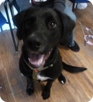 Labrador Retriever Mix Dog for adoption in Colorado Springs, Colorado - Maverick